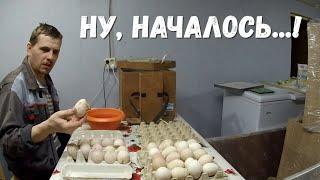 Размер их удивил!  Готовим большие яйца индейки к инкубации, партия мяса и про обновку на  кухне!
