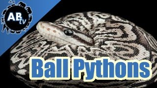 A Closer Look At Ball Python Mutations! : SnakeBytesTV : AnimalBytesTV