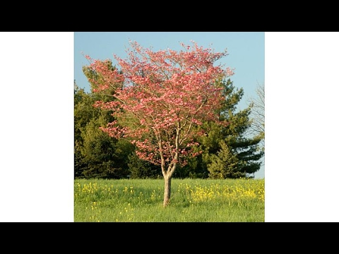 Meadow Valley Cherokee Chief Blooming Dogwood Tree
