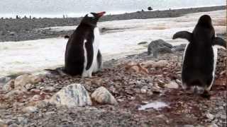 ジェンツーーペンギンとアデリーペンギン