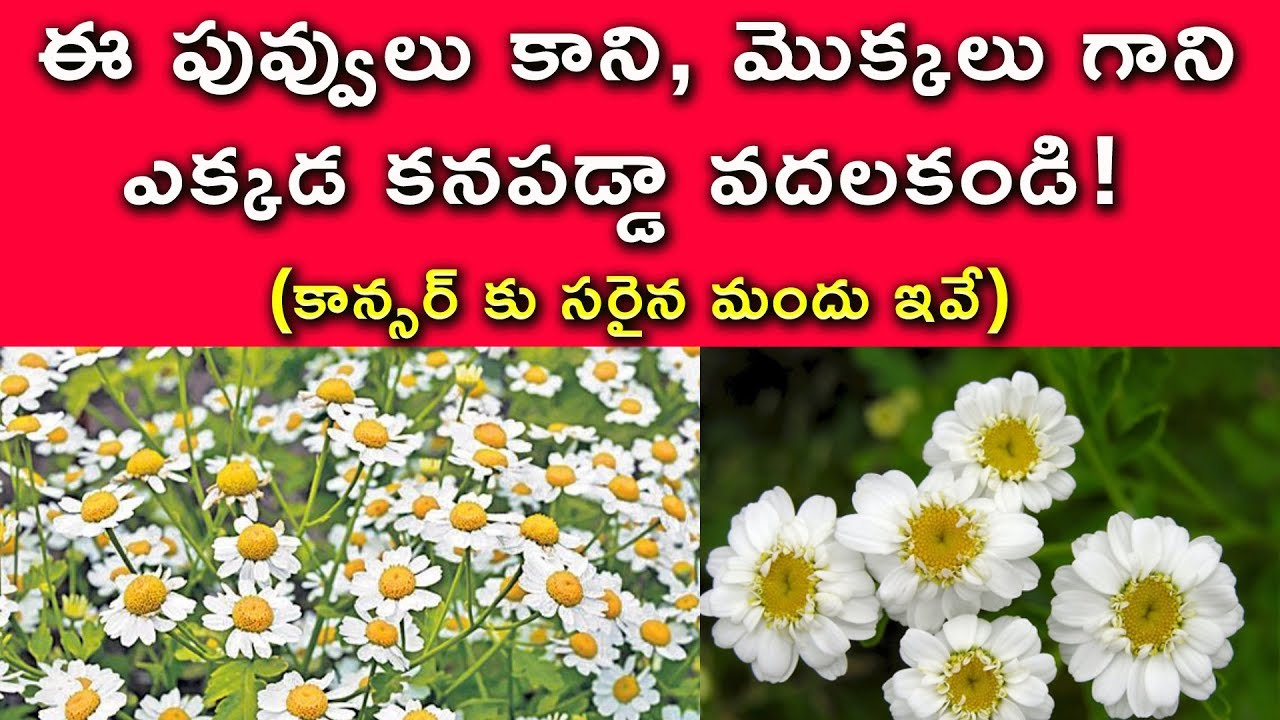 Feverfew Cancer Medicine With This Flower Feverfew Flower Use In Telugu Cancer Reducing Drug Youtube