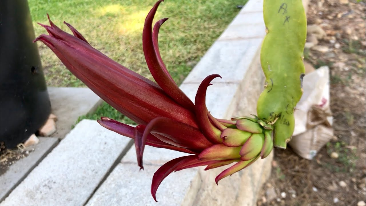 AX Red Flower Dragon Fruit Variety