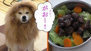 柴犬小春 部屋にライオンがいたので、鹿レバーと野菜とドッグフードをあげてみた!ASMR