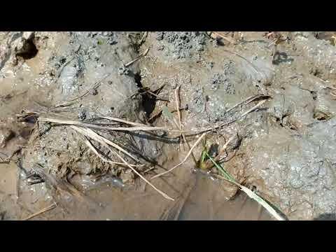 Cara Alami ! Menurunkan Asam Tanah Sawah ( PH Tanah ) Tanpa Dolamite