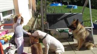 Dogue Argentin - Berger Allemand - Berger Australien Vs Fillette 4 Ans