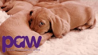 Adorable Puppy Takes A Few Nervous Steps | Puppy Awareness Week