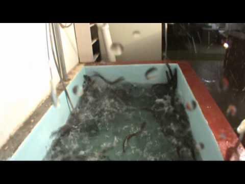 Sea Lamprey Panic Response