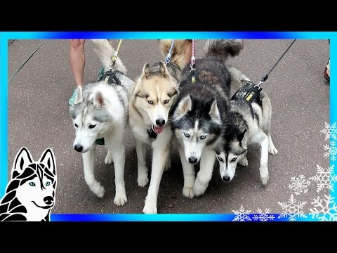ADVENTURE HUSKIES   Camping with Dogs Day 3 & 4
