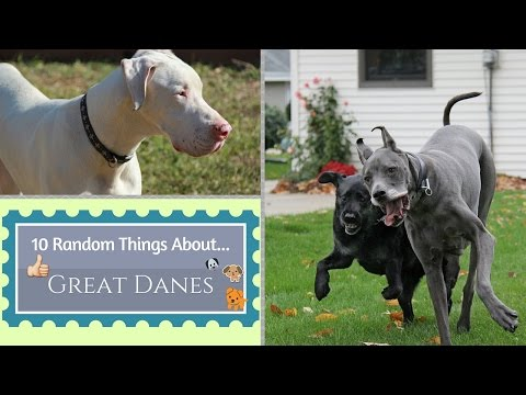 10 Random Things About...Great Danes