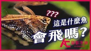 "超平價水族館魚種:陰陽燕子!(飼養教學)|Different from normal fish! How to breed ""hatchetfish""|AC草影水族"