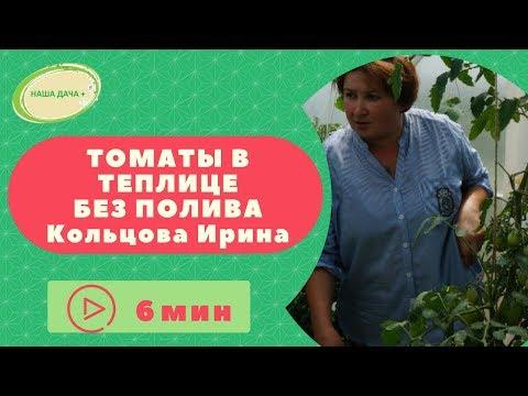 Томаты в теплице без полива  Кольцова Ирина.