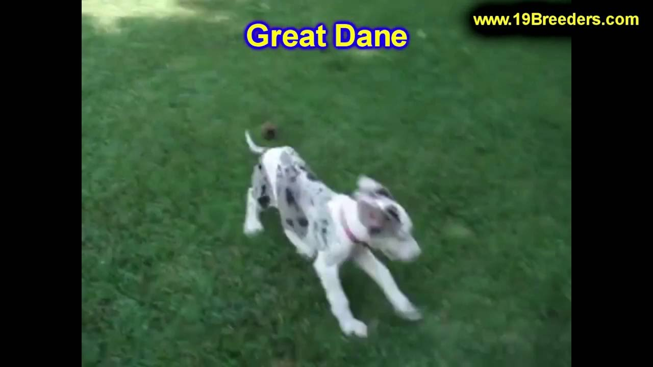 Great Dane Puppies Dogs For Sale In Kansas City Missouri Mo
