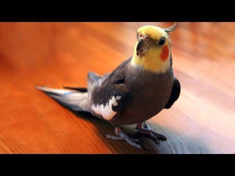 Как свистят попугаи