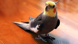 Попугаи свистят и поют под гитару!