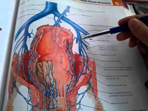 96. External, internal and common iliac veins