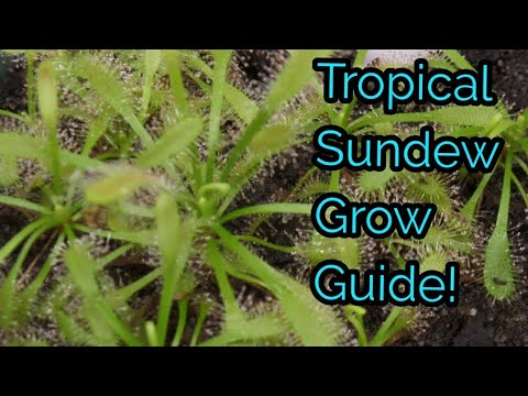 Tropical Sundew Grow Guide | How To Care For Carnivorous Sundew/Drosera Plants