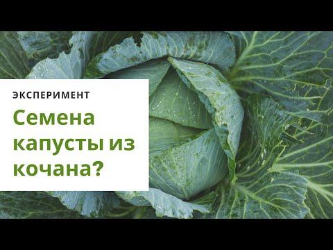 Как вырастить семена белокочанной капусты