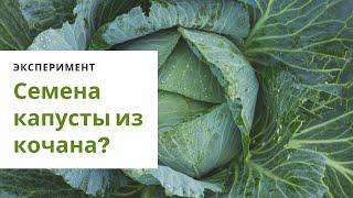 Как получить семена белокочанной капусты  из кочана