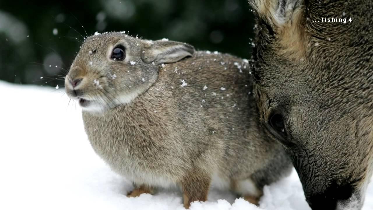 deer and wild rabbit youtube
