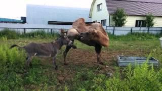 Осел и верблюд
