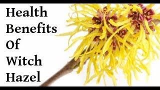 Witch Hazel a Simple but Effective Herb that Can Treat a Wide Variety of Skin Ailments