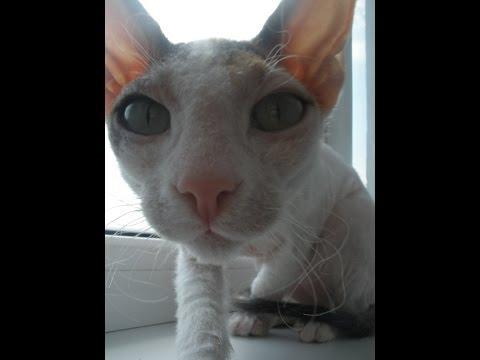 Серые породы кошек как называются и их фото