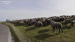 Norddeich - Schafe vor dem Haus des Gastes am 10.4.2020