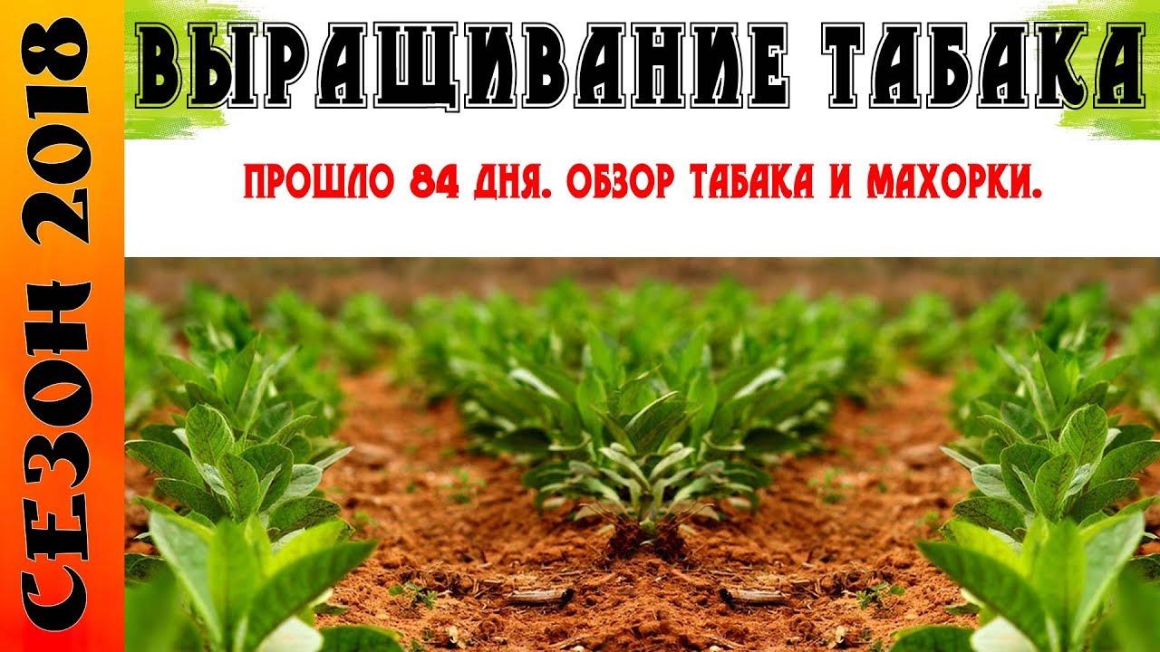 Выращивание курительного табака Ботаничка. ru 34