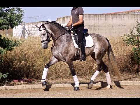 YOUNG ANDALUSIAN HORSES