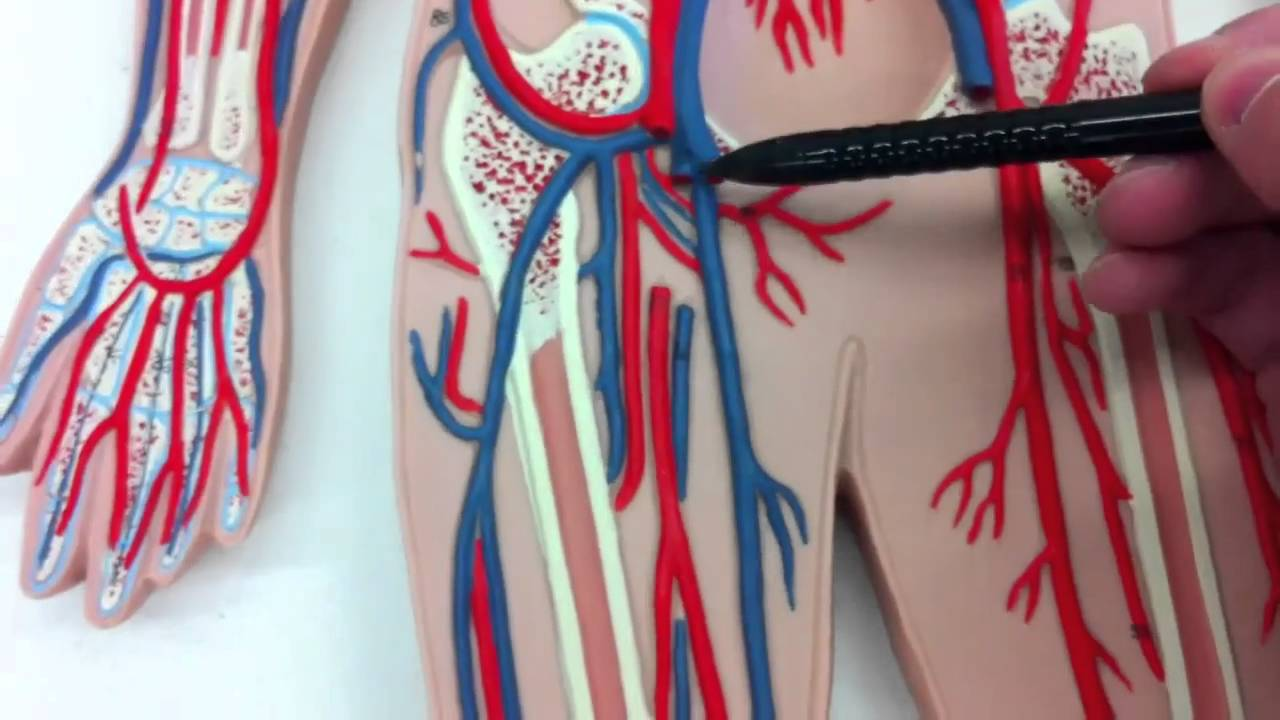 Biol 228 Ap Arteries And Veins And The Circulatory System Youtube