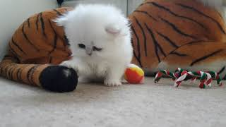 Persian Kittens  From birth to new homes VLOG #7
