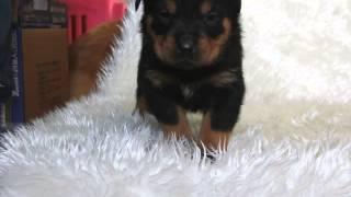 関西ロットワイラーブリーダー子犬販売 http://www.at-breeder.net/rott...