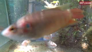 Cá lia thia trong hồ kính