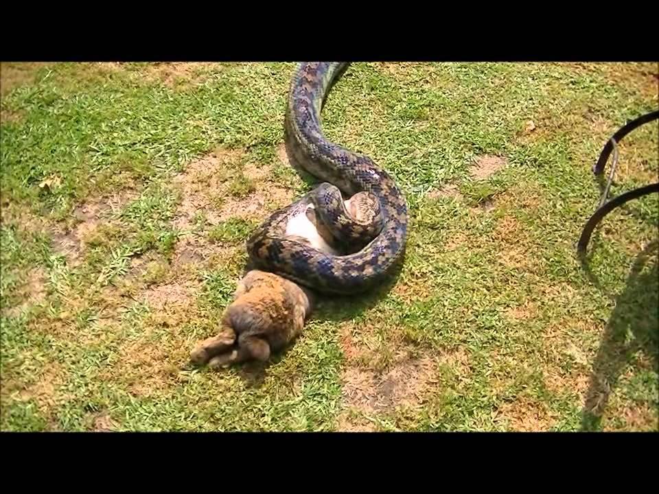 Scrub Python Vs Rabbit Youtube