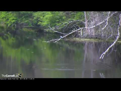 Belted Kingfisher Fishing On The Pond – May 3, 2017