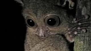 Долгопят tarsier
