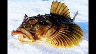 Ротан сходит с ума наживка не подвела Поклёвки одна за одной ЭТО ПЕРВЫЙ ЛЁД Рыбалка 2020