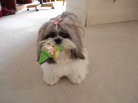 shih tzu funny shih tzu dog lacey playing with her mr elf squeaky toy 8195