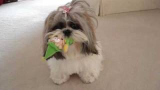 Shih Tzu dog Lacey playing with her Mr. Elf squeaky toy