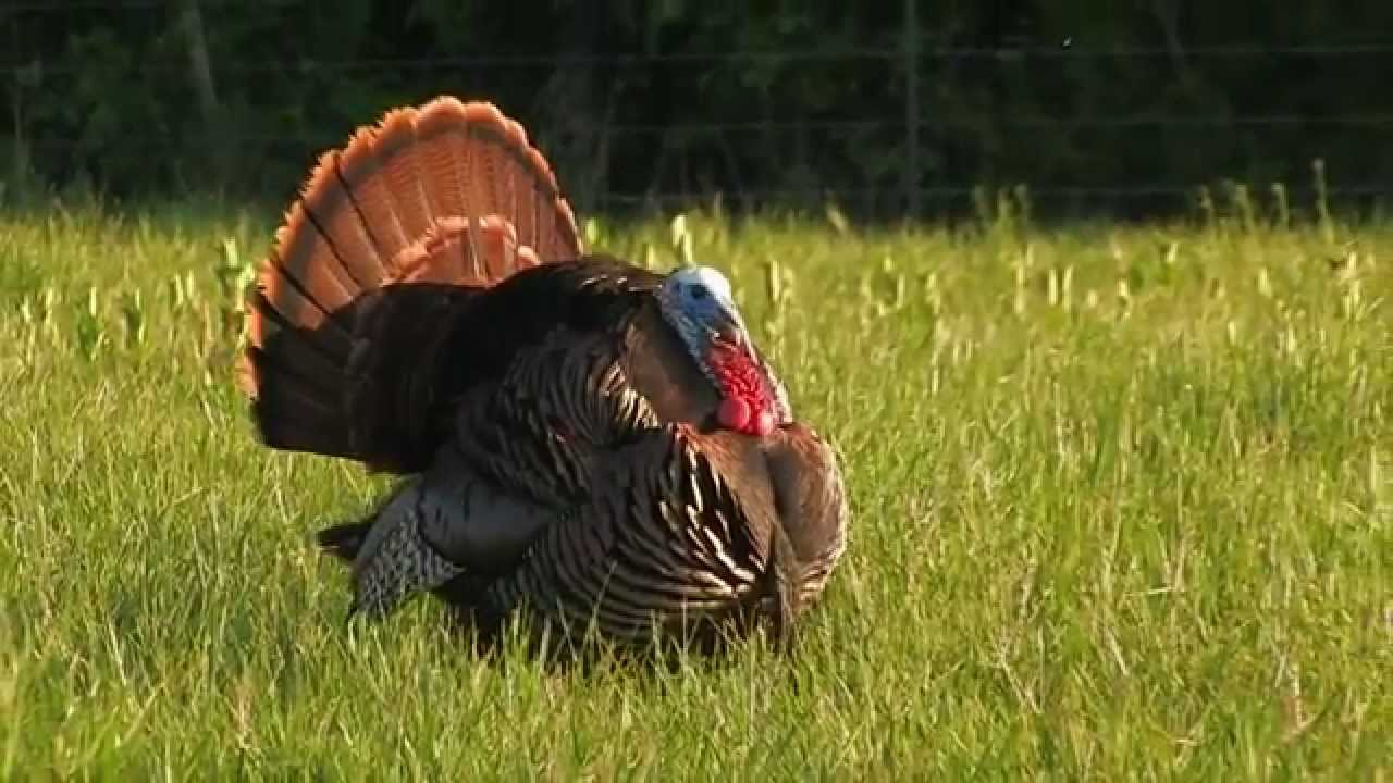 How To Make A Turkey Video