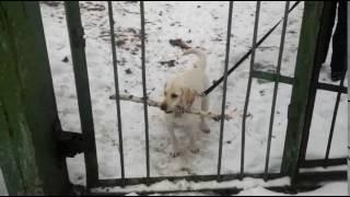 прикол, собака, большая палка,смешные лабрадоры,Симба(, 2017-02-13T15:27:56.000Z)