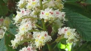 Снова цветут каштаны 2п