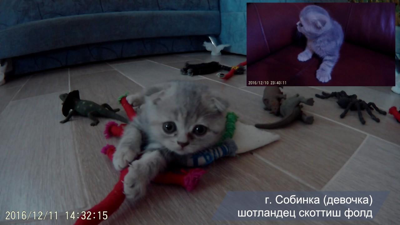 Кошки и котята скоттиш фолд. На сервисе объявлений olx. Ua украина легко и быстро можно купить котенка породы скоттиш фолд. Заведи друга.