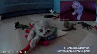 Шотландский котенок. Скоттиш фолд (вислоухая кошечка) 1,5 месяца.