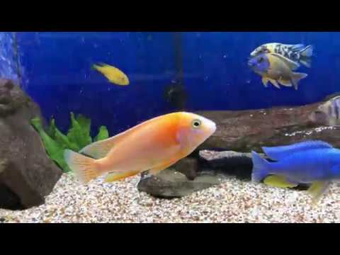 75 gallon African cichlid peacock/hap all male show tank