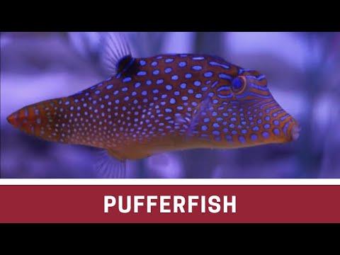 Blue Spot Puffer At Elite Reef Of Denver, Colorado