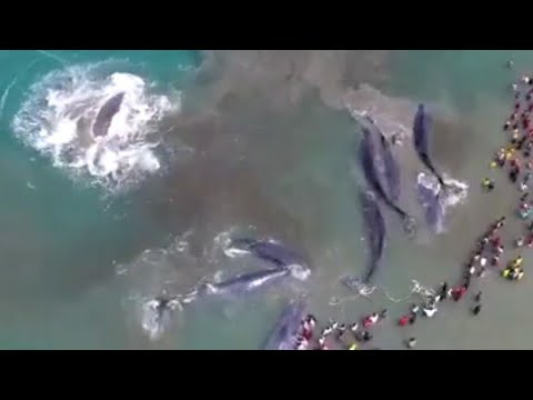 Splashy !!! Whale Fish Stranded in Indonesia 7 more tail location Aceh