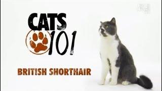 Британская короткошерстная кошка 101kote.ru British shorthair 101cats