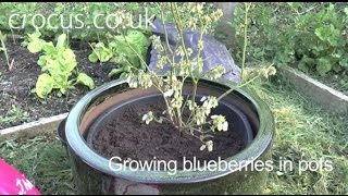How To: Grow Blueberries in Pots
