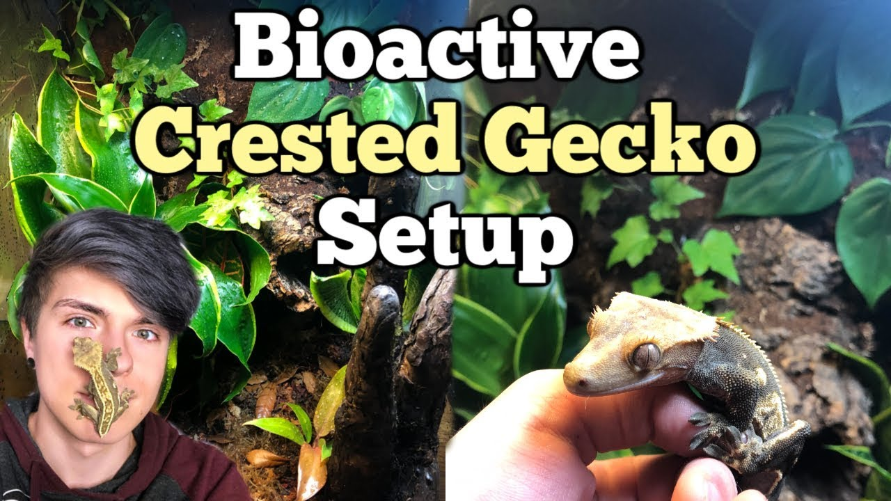 how-to-setup-a-bioactive-enclosure-for-a-crested-gecko